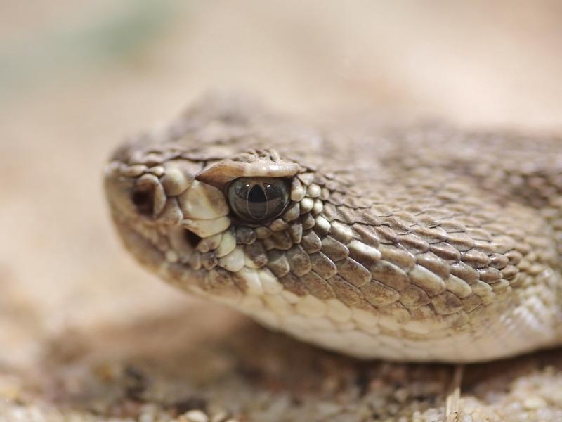 Pit viper venom medicine